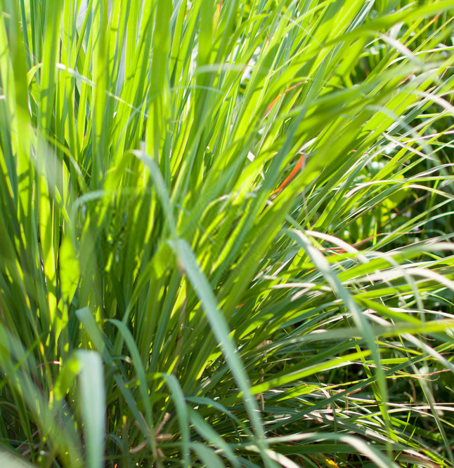 lemongrass 2