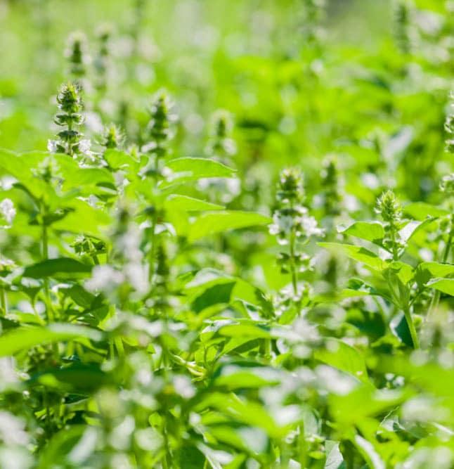 basil plant 2