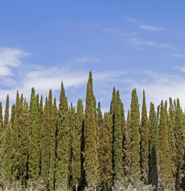 cipres plant 2