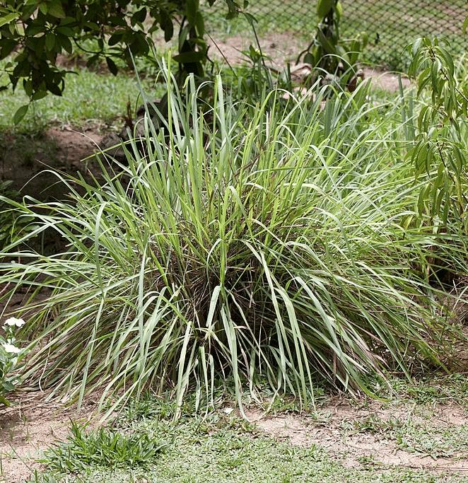 citronela plant