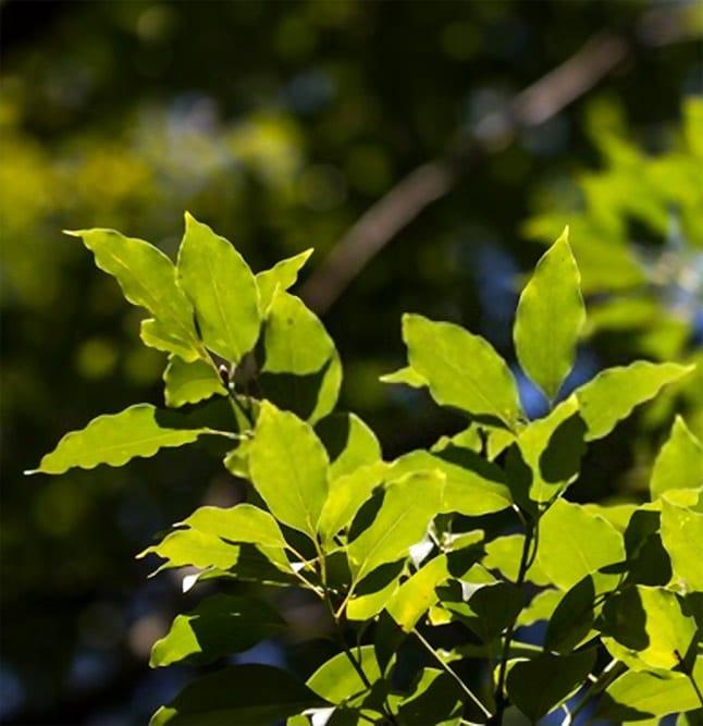 ravintsara plant